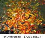 Shoal Of Colorful Koi Fish ...