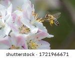 Flying Honey Bee Collecting Bee ...