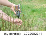 gardening work in spring time. Women's hand with garden shears cutting bush plant in the yard. - stock photo