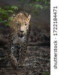 Portrait Of Persian Leopard...
