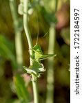 Green Grasshopper On The Grass...