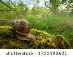 Roman Snail  Garden Snail In...