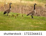 Canada Goose With Gosling On...