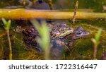 Two Pool Frogs  Pelophylax...