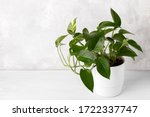 Golden pothos or devil's ivy in ...