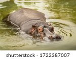 Hippopotamus Submerged In Water ...