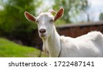 A Goat Grazes In The...