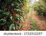 coffee tree with fresh arabica...   Shutterstock . vector #1722512257