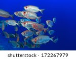 Shoal of bigeye perches in the tropical waters of the red sea  - stock photo