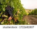 Buches Of Red Wine Ripe Grapes...