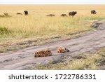 Sleeping Hyena In Dirt Road...