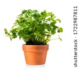Small photo of New celery plant in a ceramic pot isolated on white
