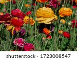 Colorful Ranunculus Flowers In...