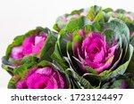 Brassica Decorative Cabbage For ...