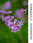 Tulbaghia Violacea Plant Specie ...
