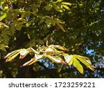 Macro View Of A Chestnut With...