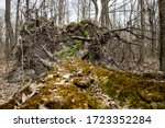 Moss Grows On The Bark Of A...