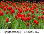 colorful field of tulips | Shutterstock . vector #172350467