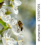 A Spring Blossom Pear Tree With ...