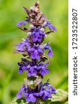 Small photo of Ajuga reptans is commonly known as bugle, blue bugle, bugleherb, bugleweed, carpetweed, carpet bugleweed, and common bugle