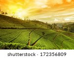 tea plantation landscape sunset | Shutterstock . vector #172356809