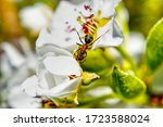 Pear Blossom With Ant  In ...