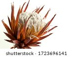 Dried Exotic Flower Protea And...