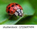 Ladybug With Black Eyes In...