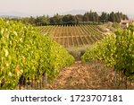 Rows Of Wine Grapes With Green...