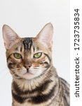 A Bengal Cat Looks At The...