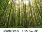 Beautiful German Beech Forest ...