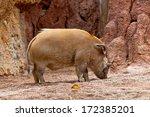 A Specimen Of Red River Hog ...