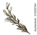 rosemary sketch | Shutterstock . vector #172392764