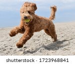 Golden Doodle Puppy Playing...
