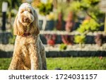 Cute Obediant Goldendoodle Crossbreed Sitting Patiently On Green Grass In Backyard Area Of Residence. - stock photo