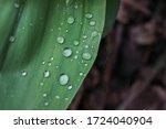 Raindrops On A Leaf. Green...