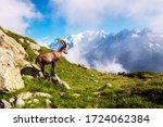 Beautiful mountain landscape with mountain goat in the French Alps near the Lac Blanc massif against the backdrop of Mont Blanc.