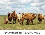 camels walking at steppe | Shutterstock . vector #172407419
