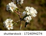 Pear Blossom And Green Leaves ...