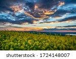 Rapeseed Field  Blooming Canol...