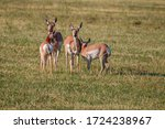 Pronghorn Antelope Does And...