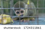 Common Squirrel Monkey In A...
