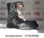 Persian Cat In A Shoe