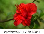 A Beautiful Hibiscus Flower On...