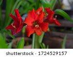 Red Amaryllis Flower Blooming ...