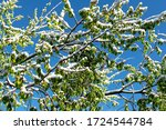 Tree Branches In Spring With...