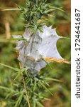 Large Spider Web In Wild Bush