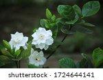 Gardenia Jasminoides J.ellis ...