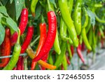 Red And Green Chilies Growing...