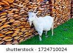 White Goat At Woodpile....